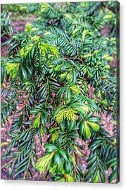 Yew Tree Acrylic Print