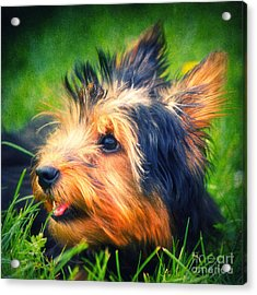 Yorki Acrylic Print by Angela Doelling AD DESIGN Photo and PhotoArt