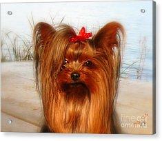 Yorkie Princess Acrylic Print