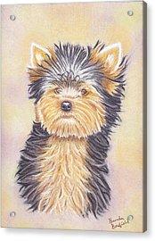 Yorkie Puppy Acrylic Print