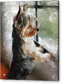 Yorkshire Terrier  Its Warm In Here But So Much More Interesting Out There Acrylic Print