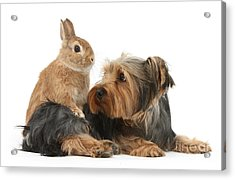 Yorkshire Terrier With Netherland-cross Acrylic Print by Mark Taylor
