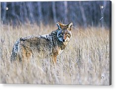 Yosemite Valley Coyote Acrylic Print
