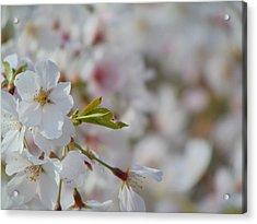 Yoshino Blooms Acrylic Print