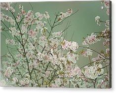 Yoshino Cherries Jade Acrylic Print