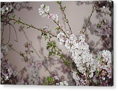 Yoshino Cherries Lavender Acrylic Print
