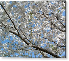 Yoshino Cherry Blossoms Acrylic Print