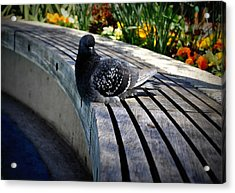 You Gotta Be Pigeon Me Acrylic Print