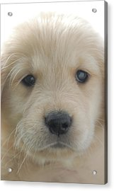 You Had Me At Woof - Golden Retriever Puppy Acrylic Print by Stan Fellerman
