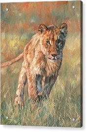 Acrylic Print featuring the painting Youn Lion by David Stribbling