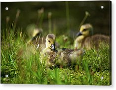 Acrylic Print featuring the photograph Young And Adorable by Karol Livote