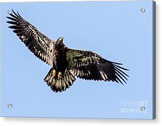 Young Bald Eagle Flight Acrylic Print
