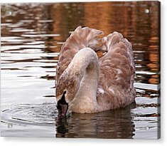Young Beauty - Juvenile Mute Swan Acrylic Print by Gill Billington