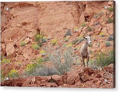 Acrylic Print featuring the photograph Young Big Horn Sheep  by Patricia Davidson