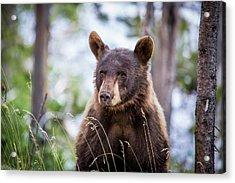 Young Black Bear Acrylic Print by Dan Pearce