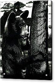 Young Black Bear In Tree  Acrylic Print