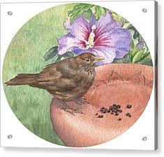 Young Blackbird After Raisins Acrylic Print by Maureen Carter