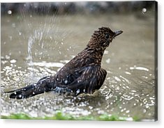 Acrylic Print featuring the photograph Young Blackbird's Bath by Torbjorn Swenelius