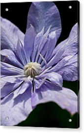 Young Blue Light Clematis Acrylic Print by Edward Myers