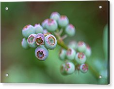 Young Blueberries Acrylic Print