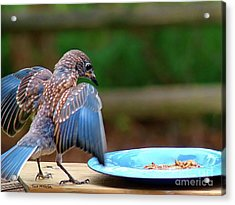 Young Bluebird's Delight Acrylic Print by Sue Melvin