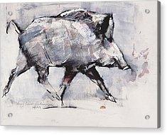 Young Boar Acrylic Print by Mark Adlington