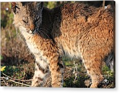Young Bobcat 01 Acrylic Print by Wingsdomain Art and Photography