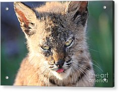 Young Bobcat 04 Acrylic Print by Wingsdomain Art and Photography