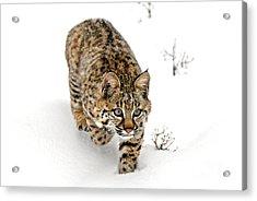 Young Bobcat Stalking Acrylic Print by Melody Watson