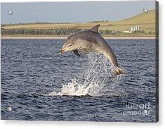 Young Bottlenose Dolphin - Scotland #13 Acrylic Print