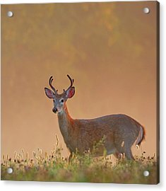 Young Buck Square Acrylic Print by Bill Wakeley