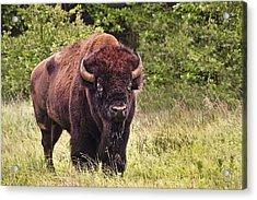 Young Buffalo Acrylic Print