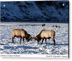 Young Bull Elk In Jackson  Hole In Wyoming Acrylic Print by Carol M Highsmith