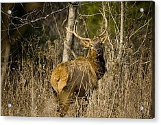 Acrylic Print featuring the photograph Young Bull On A Woodland Trail by Michael Dougherty