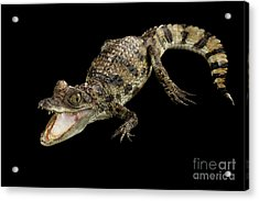 Young Cayman Crocodile, Reptile With Opened Mouth And Waved Tail Isolated On Black Background In Top Acrylic Print