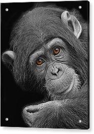 Young Chimpanzee Acrylic Print