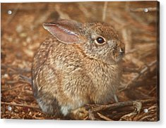 Young Cottontail In The Morning Acrylic Print