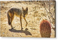 Young Coyote And Cactus Acrylic Print