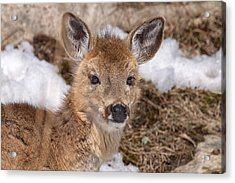 Young Deer Acrylic Print by Eunice Gibb