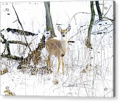 Young Doe And Spring Snow Acrylic Print