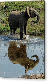 Young Elephant Playing In A Puddle Acrylic Print