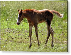 Young Foal Acrylic Print by Marty Koch