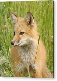 Acrylic Print featuring the photograph Young Fox by Doris Potter