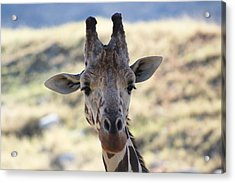 Young Giraffe Closeup Acrylic Print by Colleen Cornelius