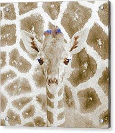 Young Giraffe Acrylic Print
