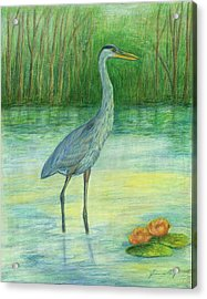 Young Great Blue Heron Acrylic Print