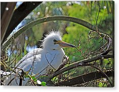 Young Great Egret Acrylic Print by Kenneth Albin
