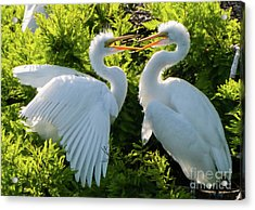 Young Great Egrets Playing Acrylic Print