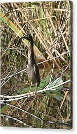 Young Green Heron  Acrylic Print by Christiane Schulze Art And Photography