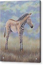Young Grevy Zebra Acrylic Print
